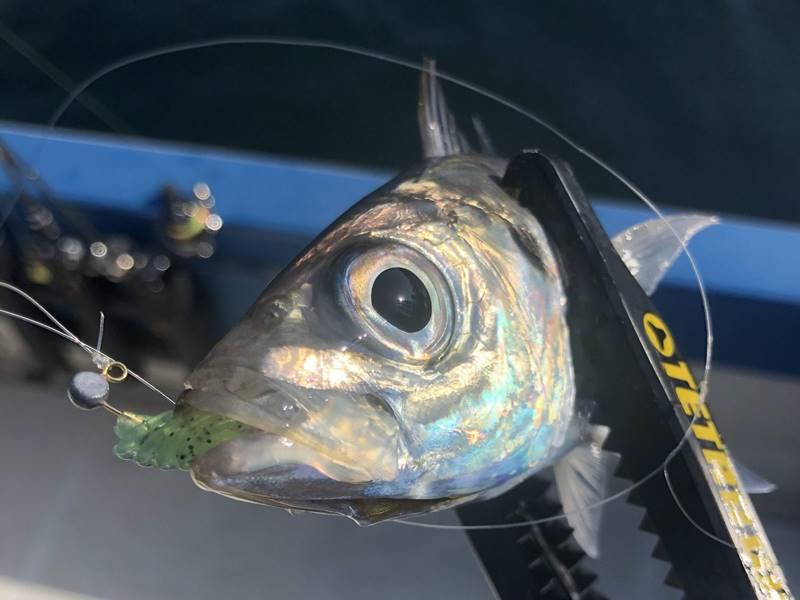 バチコンで釣れたアジ。チョップツノモエビカラー