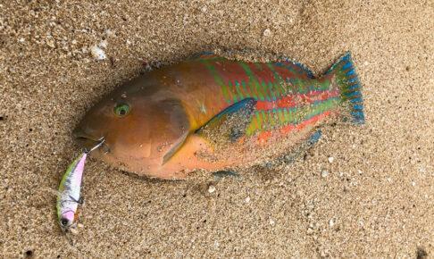 ハワイのビーチで釣れた最大魚