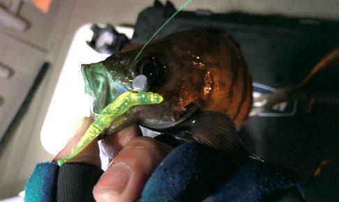 モビーで釣れたメバル