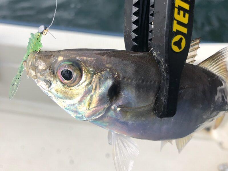 デイバチコンで釣れたアジ。チョップツノモエビ