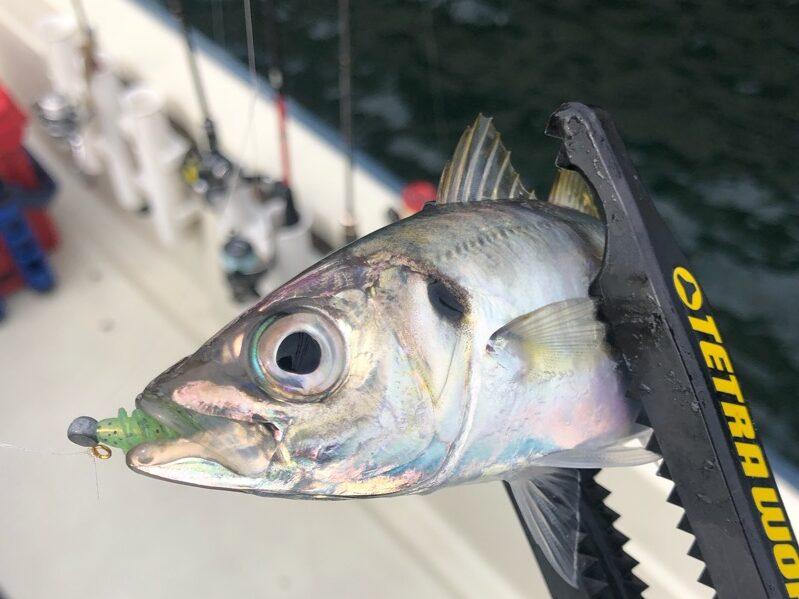 チョップのツノモエビで釣れたアジ