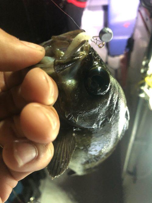 梅雨に釣れるナイスサイズのメバル