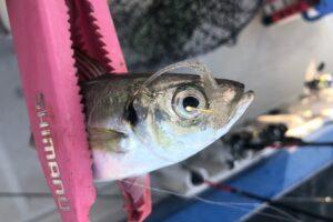 バーニークルマエビカラーで釣れたアジ。金針
