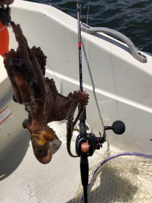 オクトパスライトセットで釣れたタコ